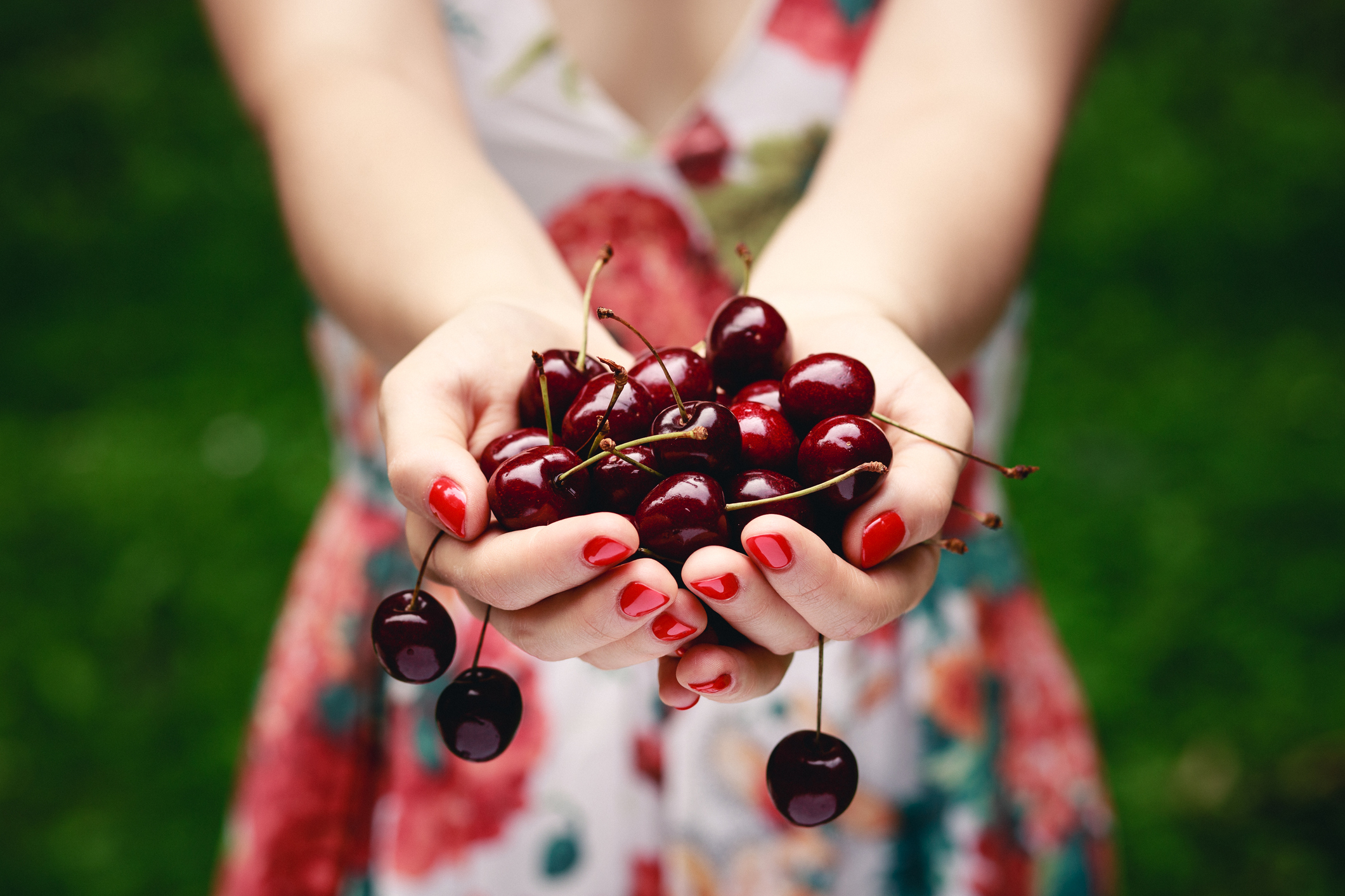 Close up of hands full of cherries.